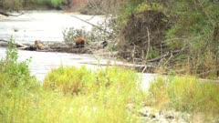 4K Black & Brown Bear walk-on log jam at edge of river in wind - SHOT from in water - SLOG2