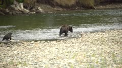 4K Grizzly Bear mother & club walks along river, mother pulls out huge salmon - SLOG2