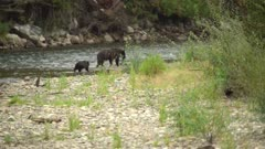 4K Grizzly mother catches salmon, cub watches, follows mother in to bush to eat it - SLOG2