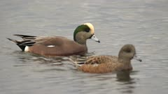 4K American Wigeon, male and female swimming in ocean, forging, rack focus - SLOG2