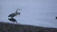 4K Grey Heron standing in shallow waters on edge of beach perfectly still stacking prey, Bufflehead ducks swim out of frame - SLOG2
