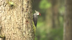 4K Woodpecker Red-breasted sapsucker male pecking tree - SLOG2 Not Colour Corrected