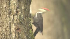 4K Woodpecker Red-breasted sapsucker male pecking tree, moves around tree and exits frame - SLOG2