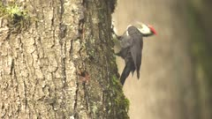 4K Woodpecker Red-breasted sapsucker male pecking tree - SLOG2