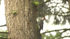 4K Woodpecker Red-breasted sapsucker male pecking tree, wider shot - SLOG2