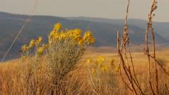 Close up on wild Sagebrush in grass lands on hill side - semi-arid