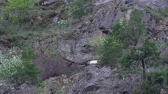 4K Mountain Goat sleeping high up on rock face - SLOG2 NOT Colour Corrected