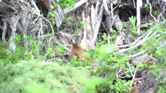 Yellow bellied marmot forging around old stumps