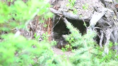 Yellow bellied marmot waiting at entrance to den