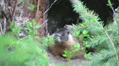 Yellow bellied marmot waiting at entrance to den, tighter shot