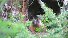 Yellow bellied marmot waiting at entrance to den,turning head, cautious