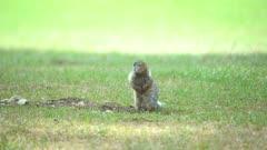 Northern Ground Squirrel chirping near den opening