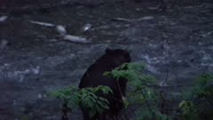 4K Grizzly Bear catches large salmon in river at night, spawning salmon all around - SLOG2