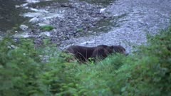 4K Grizzly Bear catches large salmon in river in evening, spawning salmon all around, zoom - SLOG2