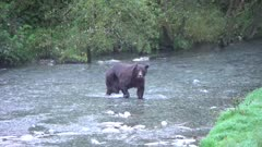 4K Grizzly Bear Boar hunts and chases salmon in stream at evening - SLOG2