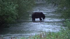 4K Grizzly Bear catches large salmon in river in evening, spawning salmon all around, disappears in to brush - SLOG2