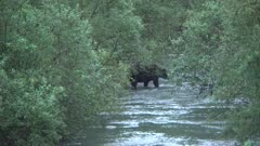 4K Grizzly Bear hunts salmon in river in evening, spawning salmon all around, crosses from shore to shore in brush - SLOG2