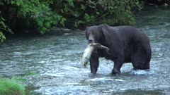 Grizzly bear, large boar, hunting salmon along river - zoom out