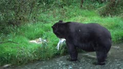 4K Grizzly bear big boar walking up river catching and eating salmon, pre-sunrise - SLOG2 Not Colour Corrected