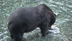 4K Grizzly bear big boar walking up river catching and eating salmon, pre-sunrise, zoom in - SLOG2 Not Colour Corrected