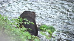 4K Grizzly bear big boar walking along river bank catching and eating salmon, pre-sunrise - SLOG2 Not Colour Corrected