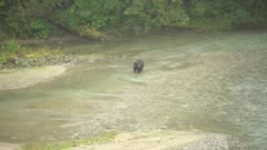 4K Grizzly bear walking in river catching and eating salmon, extreme long lens - SLOG2 Not Colour Corrected