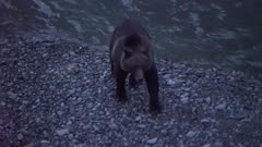 4K Grizzly bear big boar walking up river on rock bank, chasing salmon, NIGHT - SLOG2 Not Colour Corrected