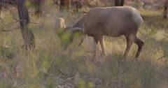 4K Big Horn Sheep Ram grazing in tall grass, pan to 2nd then 3rd, Slow Motion - SLOG2