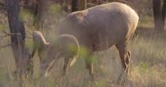 4K Big Horn Sheep Ram grazing in tall grass - SLOG2