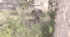 4K Big Horn Sheep Ram in tall grass, staring at camera, sniffing - SLOG2