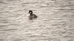 4K Bufflehead duck swims away in river - SLOG2