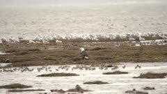 4K Bald Eagle standing amongst dozens of sand pipers in front, dozens of sea gulls behind - SLOG2