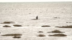 4K Young Bald Eagle standing on tiny piece of grass surrounded by sand pipers, sea gulls, loons, ducks and ocean, wide shot - SLOG2