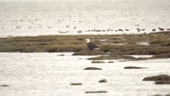 4K Bald Eagle standing amongst sand pipers, ducks, loons & sea gulls - SLOG2