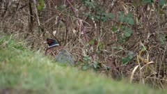 4K ring necked pheasant hiding in the grass and black berries