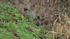 4K Ring necked pheasant hiding in the grass and black berries - SLOG2