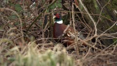 4K Male Pheasant hiding in brambles - Not Colour Corrected