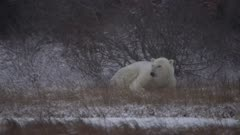 Polar Bear boar curled up behind leafless shrub attempting to shelter from snow storm - SLOG2