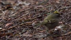 Goldcrest forging for food, pecking at ground