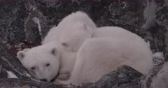 Polar Bear mother and cub curled up in rocks - SLOG2