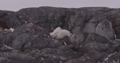 Polar Bear mother and cub curled up in rocks, zoom in - SLOG2