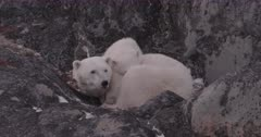Polar Bear mother and cub curled up in rocks, Mother watches - SLOG2