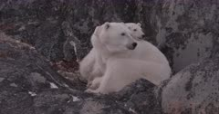4K Polar Bear mother and cub get up, stretch, slow motion - SLOG2 Not Colour Corrected