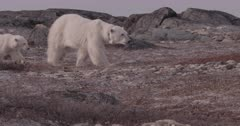 4K Polar Bear mother and cub walk across rocks, slow motion - SLOG2 Not Colour Corrected