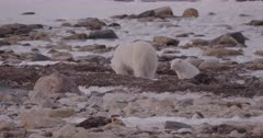 4K Polar Bear mother and cub along shore forging, digging in sea weed eating, Slow Motion  - SLOG2