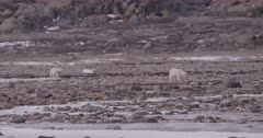 4K Polar Bear mother with two cubs walking across Tundra, Slow Motion  - SLOG2 Not Colour Corrected