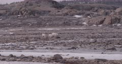 4K Polar Bear mother with two cubs walking across Tundra, Wide Shot, Slow Motion  - SLOG2 Not Colour Corrected