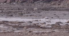 Polar Bear mother with two cubs walking across Tundra, Wide Shot, Slow Motion  - SLOG2 Not Colour Corrected