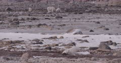 4K Polar Bear mother and 2 cubs forging in the back ground. Another mother and 1 cub in the foreground, Wide Shot, Slow Motion  - SLOG2 Not Colour Corrected