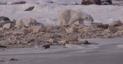 4K Polar Bear mother and cub walk across rocks in snow, slow motion - SLOG2 Not Colour Corrected